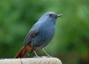 Plumbeous Water-Redstart for Donald