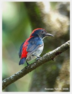 Scarlet-backed flowerpecker (male)