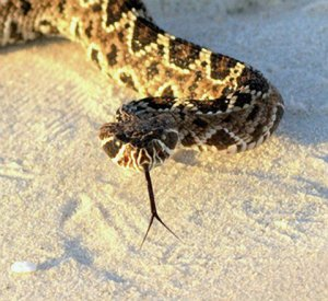 Eastern Diamond Rattlesnake Back on the Beach