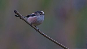 Longtailed-tit3b