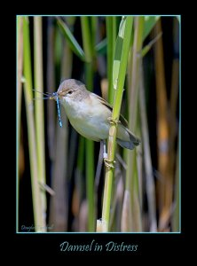 Damsel in Distress (Reed Warbler)