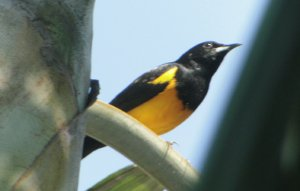 Black Vented Oriole