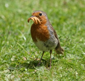 Robin with mealworms