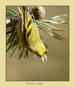 Agressive Male siskin