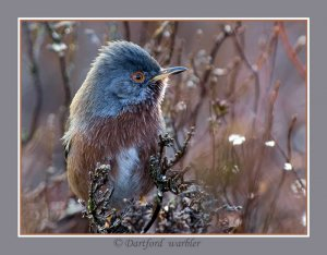 Close up Dartford warbler