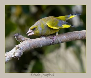 Aggressive Male Greenfinch