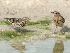 Red-throated pipit (1st Winter & Adult)