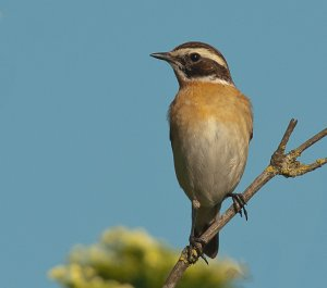 Whinchat through new glass