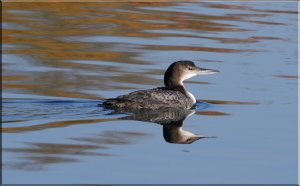 Great Northern Diver (juvenile)