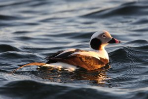 Long-tailed Duck at sunset