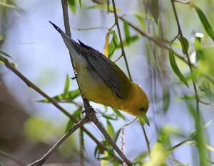 Prothonotary Warbler (Female)