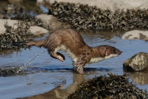 Stoat at play