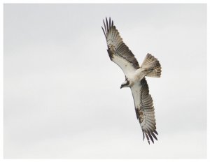 Osprey on an unsuccessful dive.