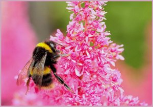 Bumble Bee and Pink Astilbe