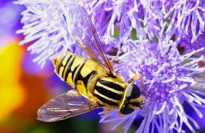 Hoverfly and Ageratum