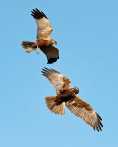 Courting Harriers