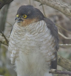 Sparrow Hawk waiting for it's opportunity