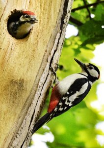 Greater spotted woodpecker and young