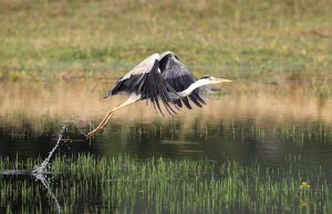 Taking off Grey Heron