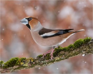 Hawfinch in winter