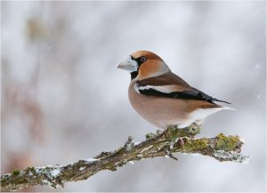 Hawfinch in white landscape