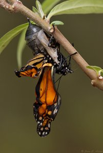 Birth of a Monarch Butterfly