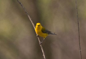 Prothonotary Warbler- Male