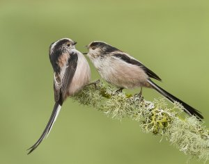 Long-tailed Tits. Aggression