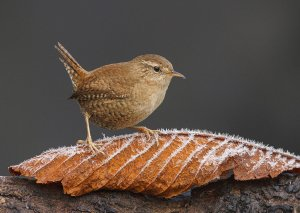 Wren. A Touch of Frost