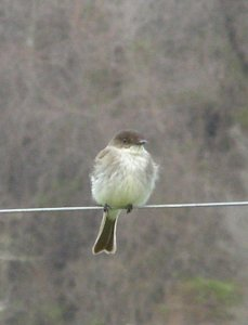 Eastern Phoebe, probably male