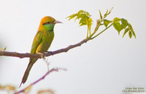 Green Bee-eater this morning - different angle