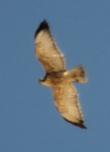 Immature Variable hawk (likely)