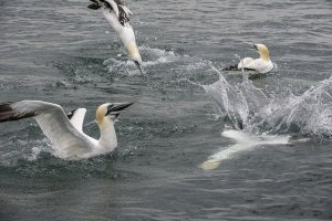 Diving northern gannets