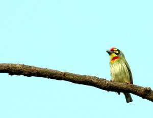 The coppersmith barbet, crimson-breasted barbet or coppersmith