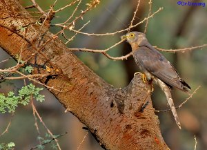 Common hawk cuckoo with catch