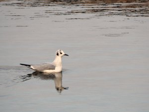 Bonaparte's Gull, Thousand Islands in December