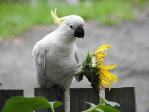 Cockatoo and her Wedding Bouquet Merry Christmas all my friends