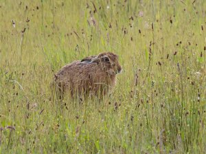 Brown Hare trying not to be seen!