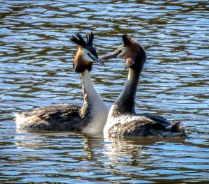 Star Struck Lovers - Great Crested Grebe