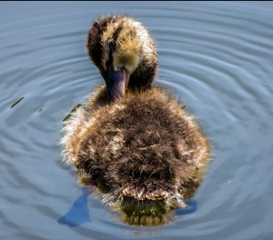 """Alright Mr. DeMille, I'm ready for my close-up"" - Duckling"