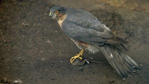 Sparrowhawk with Mouse
