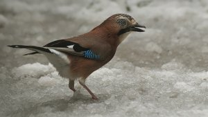 Jay in the snow yesterday
