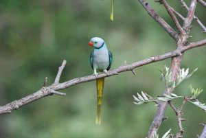 A male Malabar Parakeet on a Silver Oak tree