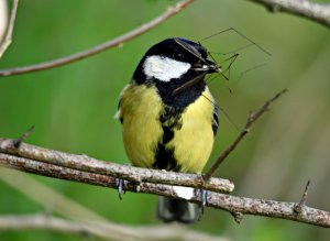 Great Tit & Crane Fly