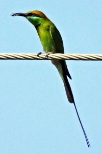 Green Bee-eater With A Bee