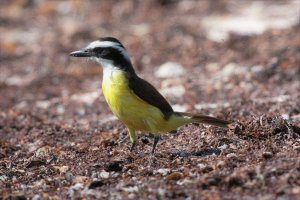 Great Kiskadee on the prowl