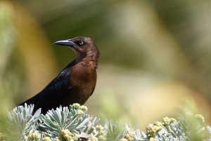 Female Great-tailed grackle on a bush