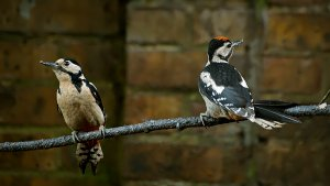 Great Spotted Woodpecker - Mother and Fledgling