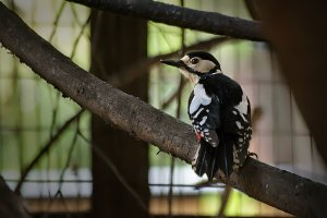 Great Spotted Woodpecker - female