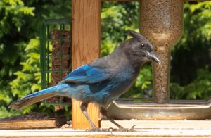 Steller's Jay giving an inquisitive look at...